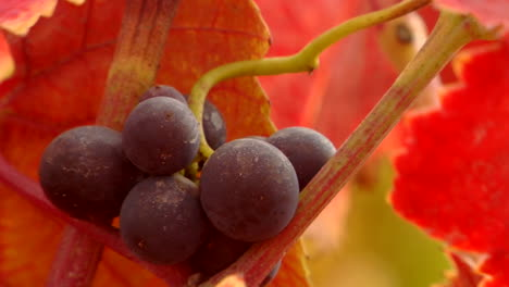 Red-wine-grapes-and-fall-colors