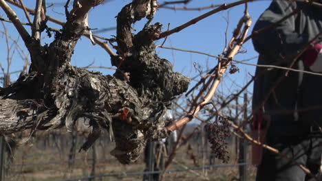 A-field-worker-prunes-dormant-vines-in-a-California-vineyard-2