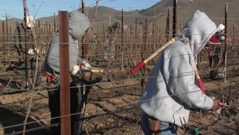 Field-workers-break-for-lunch-while-pruning-dormant-vines-in-a-California-vineyard-1