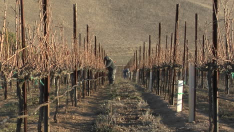 A-move-in-on-a-field-worker-pruning-dormant-grape-vines-in-a-California-vineyard