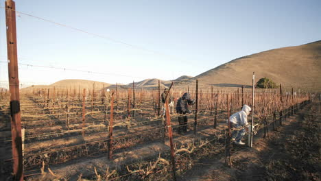 A-crew-of-workers-prune-a-vineyard