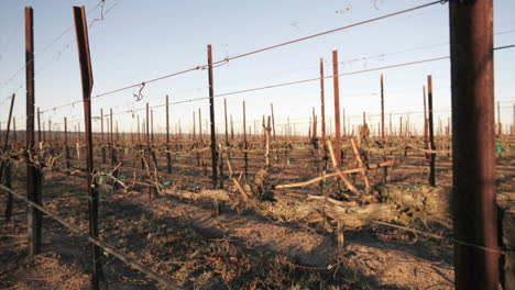 A-pruning-crew-trims-dormant-vines-in-a-California-vineyard