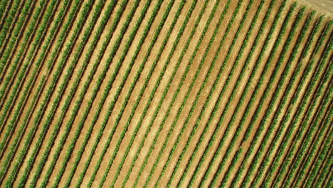 An-aerial-over-vast-rows-of-vineyards-in-Northern-California-s-Sonoma-County-3