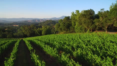 An-low-aerial-over-vast-rows-of-vineyards-in-Northern-California-s-Sonoma-County-