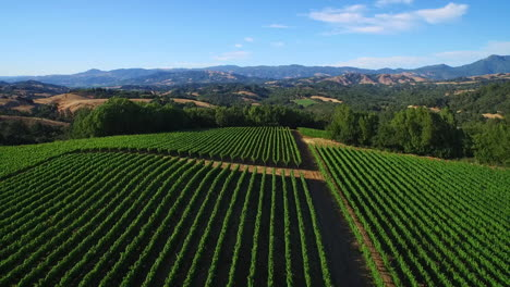 An-aerial-over-rows-of-vineyards-in-Northern-California-s-Sonoma-County-1