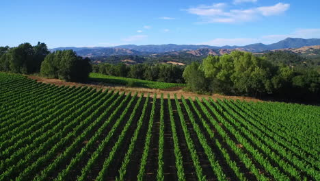 A-high-aerial-over-rows-of-vineyards-in-Northern-California-s-Sonoma-County-4