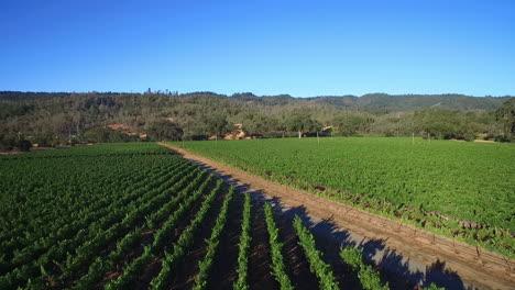 Eine-Niedrig-Ansteigende-Antenne-über-Reihen-Von-Weinbergen-Im-Sonoma-County-In-Nordkalifornien-Mit-Heißluftballons-In-Entfernung-1