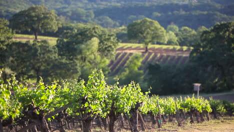 Angenehmer-Schuss-Quer-Durch-Das-Weinanbaugebiet-Napa-Valley