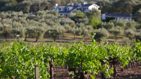Angenehme-Aufnahme-Durch-Das-Weinanbaugebiet-Napa-Valley-1