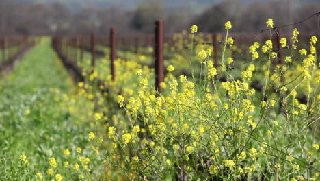 Green-fields-of-California-with-yellow-wildflowers-growing