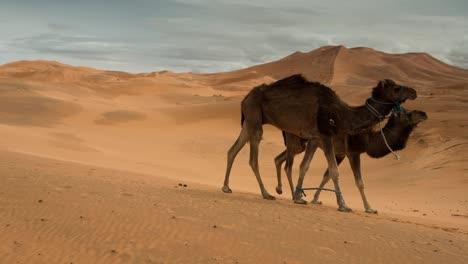 Merzouga-Camel-01