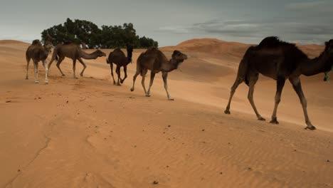 Merzouga-Camel-02
