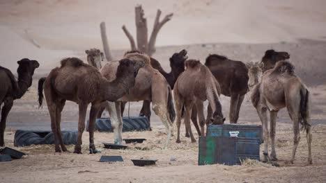 Merzouga-Camel-04