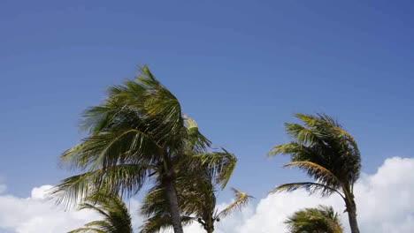 Miami-Palms-Blowing-01
