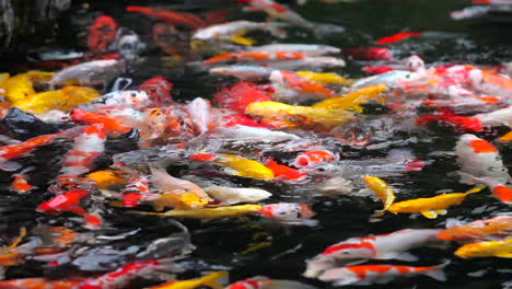 A-beautiful-shot-of-koi-fish-swimming-in-a-pond