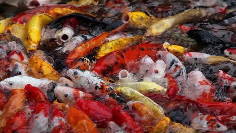 Una-Hermosa-Foto-De-Peces-Koi-Nadando-En-Un-Estanque-2