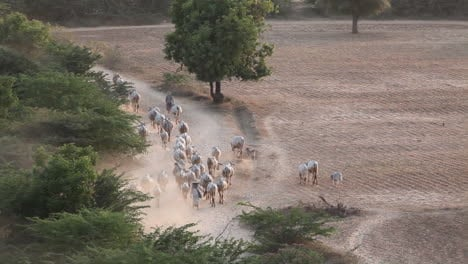 Shepherd-leads-his-flock-in-Myanmar-Burma
