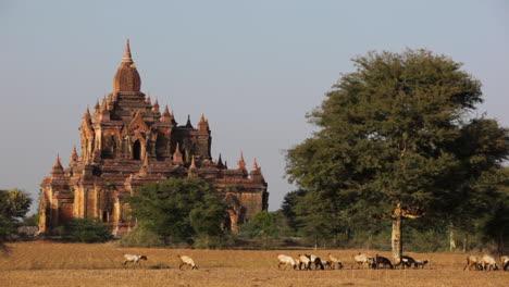 Los-Pastores-Llevan-Sus-Rebaños-Cerca-De-Los-Increíbles-Templos-De-La-Pagana-Bagan-Birmania-Myanmar