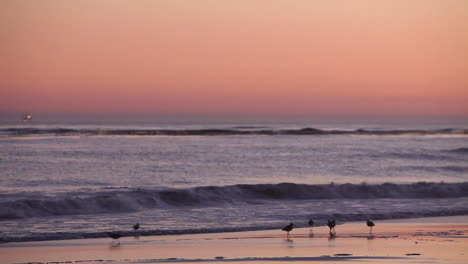 Birds-gather-on-the-beach-at-sunset