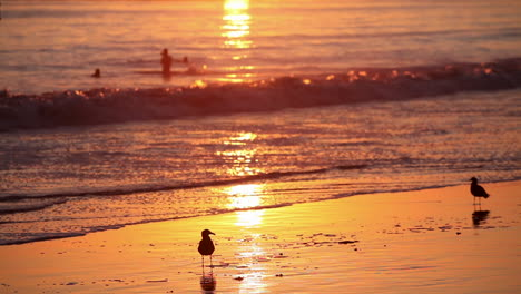 Birds-gather-on-the-beach-at-sunset-with-swimmers-in-background