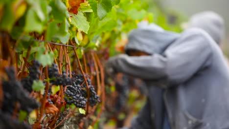 Ein-Wanderarbeiter-Pflückt-Trauben-Auf-Den-Feldern