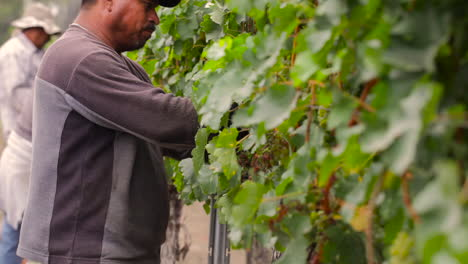 Wanderarbeiter-Pflücken-Trauben-Auf-Den-Feldern