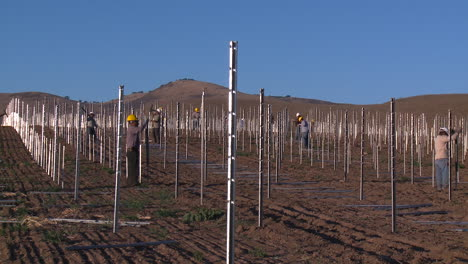 Workers-set-up-a-vineyard-with-stakes-and-poles
