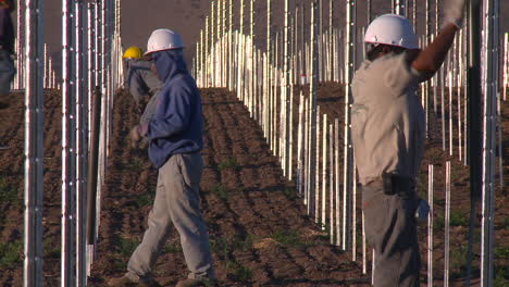 Workers-set-up-a-vineyard-with-stakes-and-poles-1