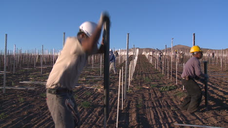 Workers-set-up-a-vineyard-with-stakes-and-poles-2