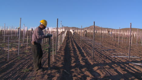 Workers-set-up-a-vineyard-with-stakes-and-poles-3