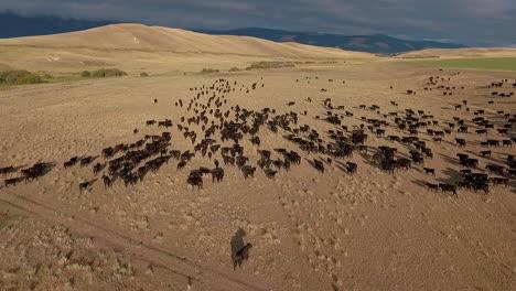 Erstaunliche-Luftaufnahme-über-Einem-Westlichen-Rinderzug-In-Den-Ebenen-Von-Montana-1