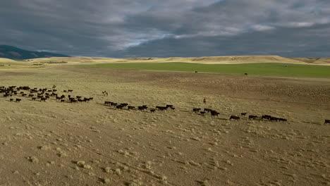 Erstaunliche-Luftaufnahme-über-Einem-Westlichen-Rinderzug-In-Den-Ebenen-Von-Montana-3