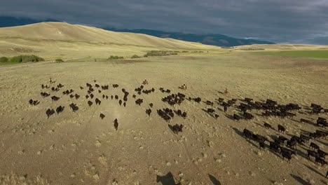 Amazing-aerial-over-a-western-cattle-drive-on-the-plains-of-Montana-4