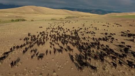 Erstaunliche-Luftaufnahme-über-Einem-Westlichen-Rinderzug-In-Den-Ebenen-Von-Montana