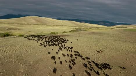 Erstaunliche-Luftaufnahme-über-Einem-Westlichen-Rinderzug-In-Den-Ebenen-Von-Montana-7