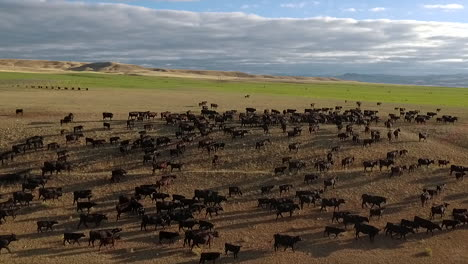Amazing-aerial-over-a-western-cattle-drive-on-the-plains-of-Montana-11