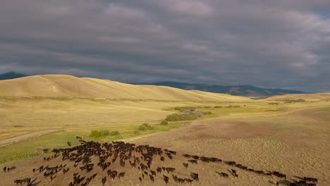 Amazing-aerial-over-a-western-cattle-drive-on-the-plains-of-Montana-12