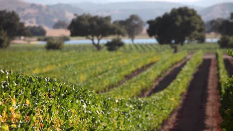 Beauty-shot-of-a-row-of-manicured-grape-vines-in-the-Santa-Ynez-Valley-AVA-of-California-2