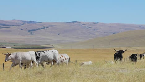 Cattle-on-the-open-range-near-Deer-Lodge-Montana