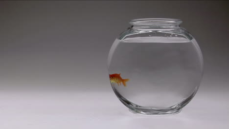 A-goldfish-swims-from-top-to-bottom-of-its-bowl-1