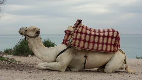 Morocco-Beach-Camel-00