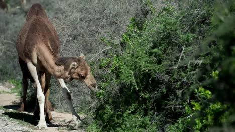 Morocco-Camel-00