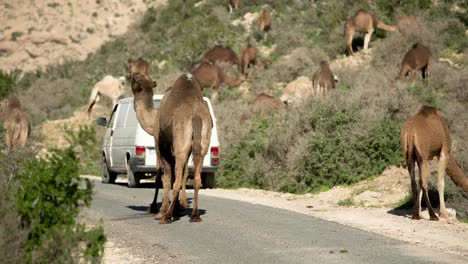 Morocco-Camel-08