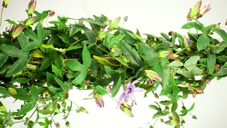 Passiflora-08