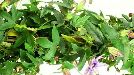 Passiflora-09