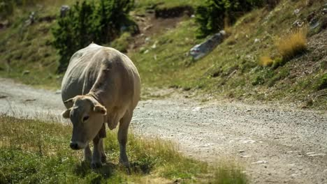 Pedraforca-Cows-03