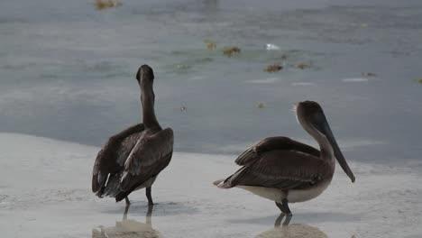 Pelicans-05