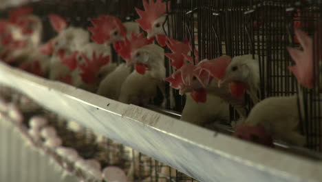 Hens-peck-at-feed-in-a-trough-at-a-chicken-farm