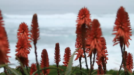 Selective-focus-view-of-red-aloe-blossoms-with-the-ocean-in-the-background