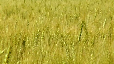 A-wheat-field-waves-in-the-breeze
